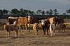 Curious Cows (Polk County)