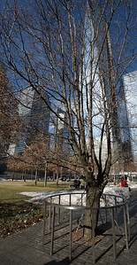 Survivor Tree- 911 Memorial