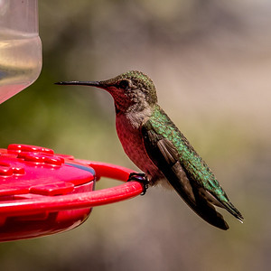 Orioles and hummingbirds, May 2014