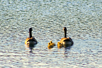 """Family outing"" - Cly found the same family of geese and had some better camera equipment this time"