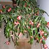 Freda Voas's winter cactus