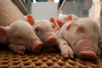 Cute piggies at the Calgary Stampede.