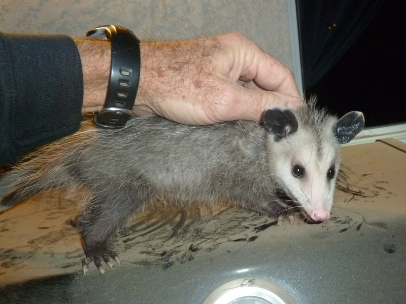 Caught this critter crawling around in the barbeque late at night.