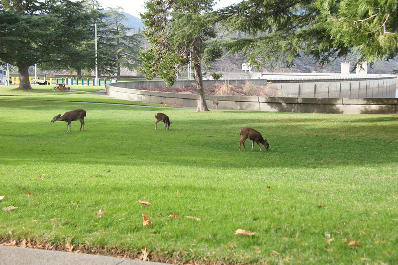 Deer are common at the Shasta Dam