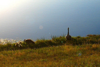 Goose family near COP - taken with point & shoot