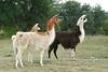 Llama's in Texas