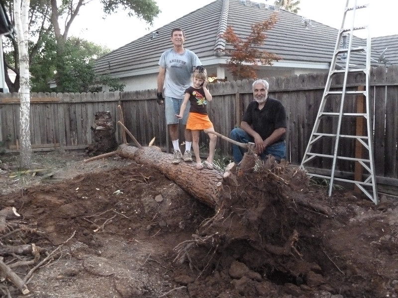 Took about a week to take this tree out.   Cut and dragged brush to the street -- city curbside cleanup hauled it away.  Cut up the firewood -- Jack needs to come and get it.  Two evenings with Perry's help, and we dug out the stump.  Charlee helped work the comealong to pull it over. Hard work!!!