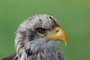 Bald eagle (Fürstenfelder Naturfototage 2011)