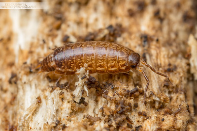 Brown Woodlouse