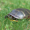 Turtle in Littleton