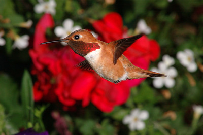 Male Rufous Hummingbird.  These little guys keep a close eye on there surroundings so they will back away from the feeder every few seconds to look around, this creates a good opportunity to get a nice picture without the feeder in it.