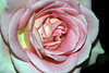 Rose (grown by Jean Finkleman).