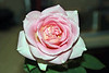 Rose (grown by Jean Finkleman).