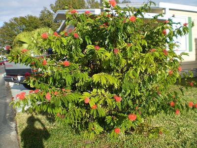 Our powder puff bush in bloom