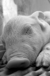 Cute piggy at Calgary Stampede.