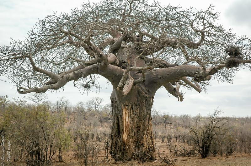 African baobab tree - Kruger National park, south Africa