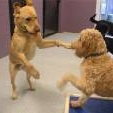 Abby being entertained by another dog at daycare