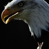 Close-up portrait of a bald eagle, Haliaeetus leucocephalus.