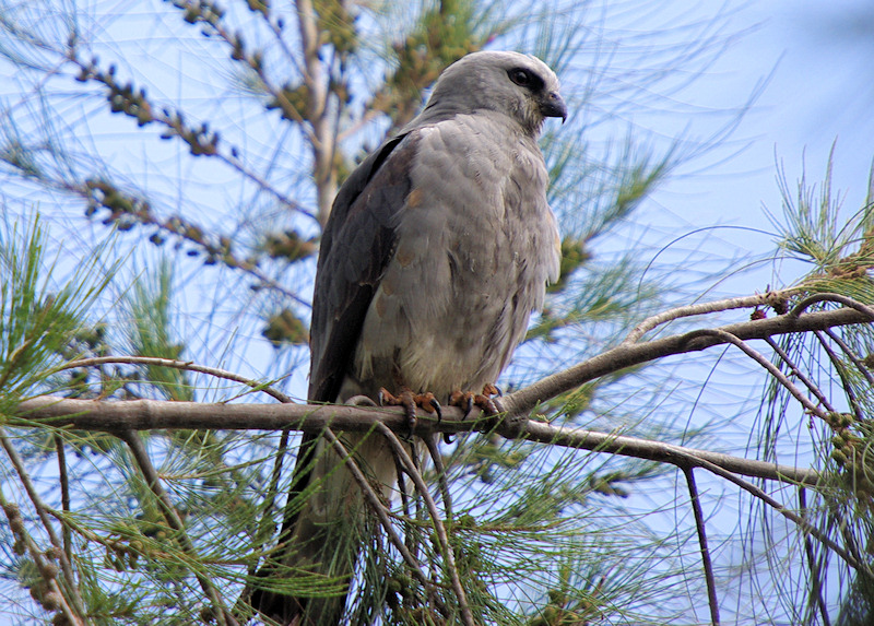 "What I consider to be my best shot of the perched Mississippi Kite, taken in ""iffy"" morning light. There were very few opportunities to see the Kite unobscured by the She-Oak branches, and I lucked-out on this one.  Quite a magnificent bird.."
