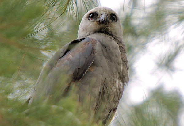 Mississippi Kite in Los Angeles 2007