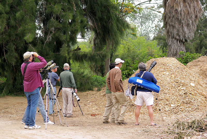 Meanwhile, here are some of those admirers, watching with cameras, binoculars, and digiscopes. The Kite is in a tree out-of-frame just off to the right and perhaps 50 feet from the group.