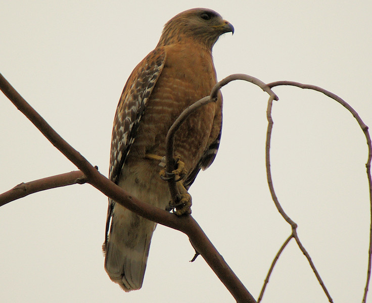 "With all the attention on the Kite, the resident raptors are saying ""What about US?"" We came across the Garden's Red-Shouldered Hawk; notice the band on its right leg..."