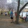 Cherry blossoms ending