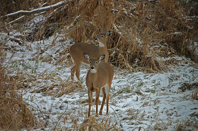 White-Tailed Deer does at home