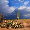 Saguaro cactus in Carefree, Az
