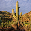 Saguaro cactus, Tonto NF on Apache Trail