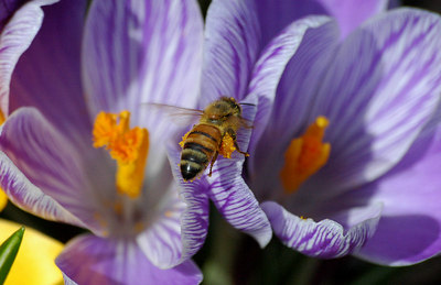 Bee on crocus at home