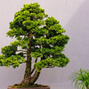Evergreen Bonsai 1
