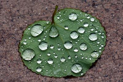 Katsura leaf 1