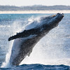 Humpback Whale Breaching, Surfers Paradise, Gold Coast, Queensland.