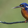 Azure Kingfisher, Burleigh Heads, Queensland.