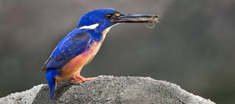 Azure Kingfisher, Tallebudgeraba Creek, Burleigh Heads, Queensland.