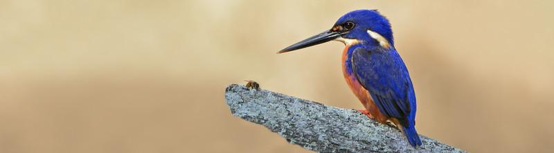 Kingfisher Tallebudgeraba Creek, Burleigh Heads, Queensland.
