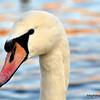 A mute swan on the Vltava River, Prague, Czech Republic in February 2014