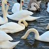 Mute swans on the Vltava River, Prague, Czech Republic in February 2014