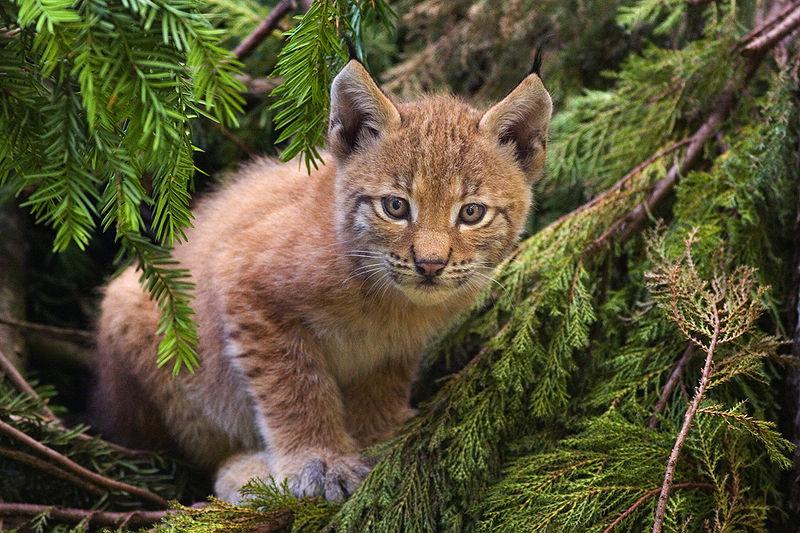 800px-Lynx_kitten