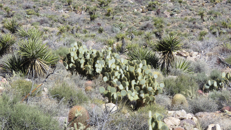 A large prickly pear cactus along the trail.