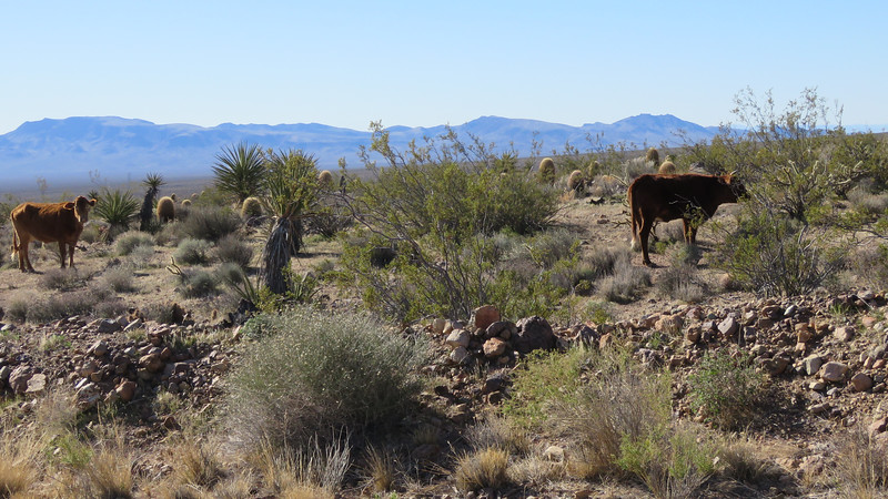 Two more.  There was an article in the LA Times today (3/5/18) about feral bulls charging hikers near Palm Springs.