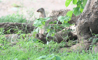 Mongoose pups
