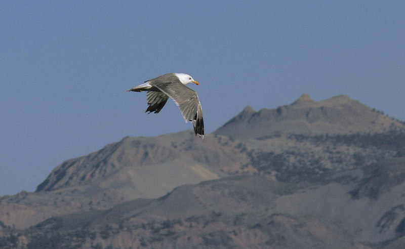 Chances are most of those California Gulls you see on the beaches were born right here on Mono Lake; after the Great Salt Lake it's home to the largest rookery in North America. Here's a California Gull doing a flyby with the scenic Mono Craters in the background.