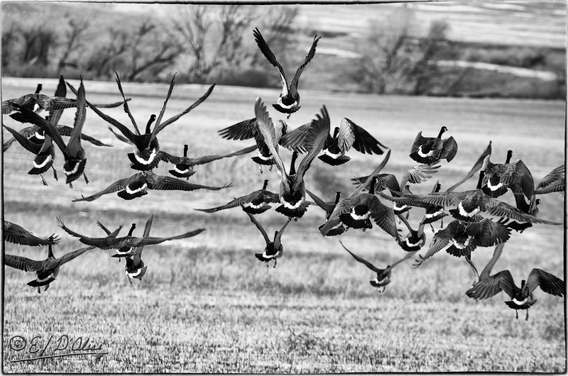 Canada Geese taking flight
