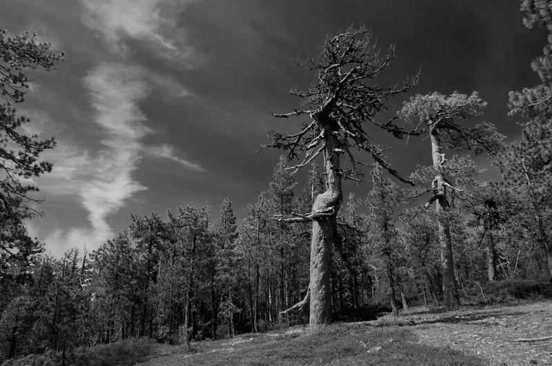Jeffrey's Pine (Pinus jeffreyi), Go Road, June 2012.