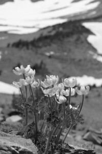 Alpine flowers on the side of Mt. Shasta.