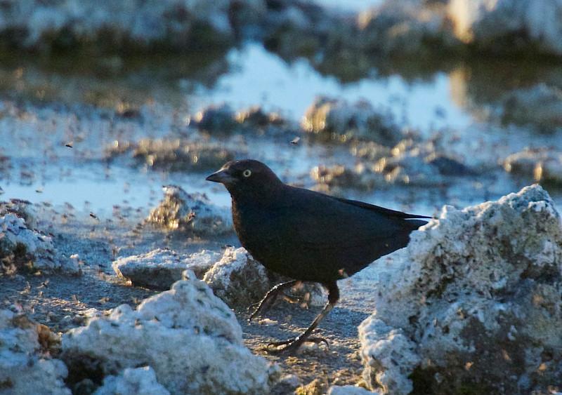 Brewer's blackbirds eating brine flies at Mono Lake