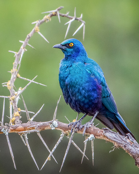 Ruppell's Glossy-Starling