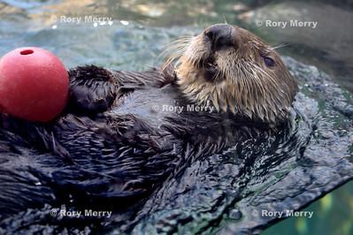 Sea Otter Plays